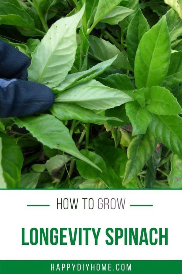 longevity spinach 1 1