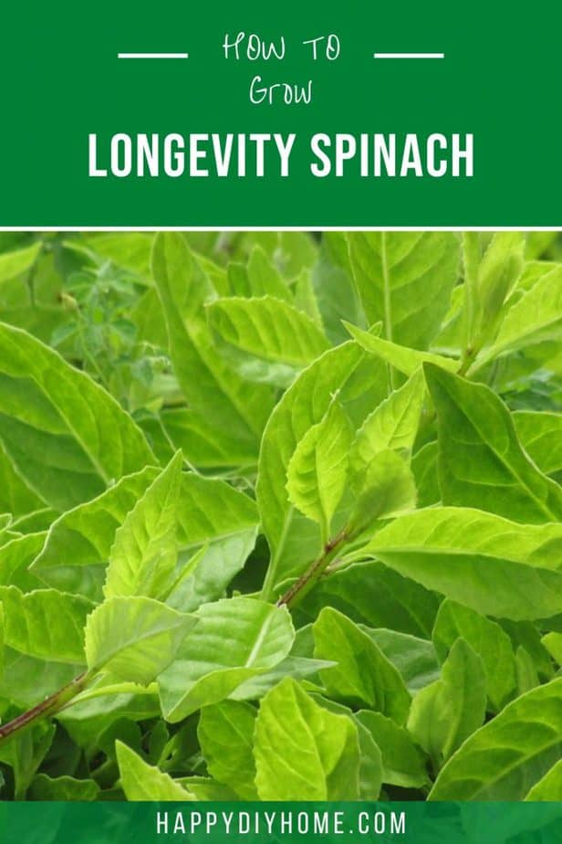 longevity spinach 2
