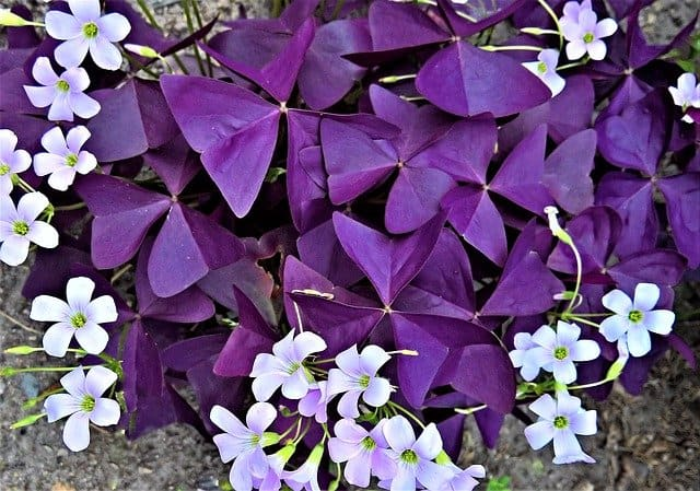 1 Bright and colorful Oxalis Triangularis