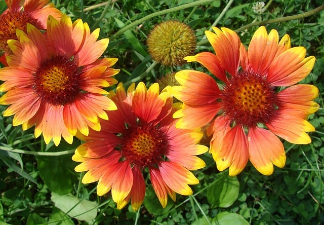 1 Gaillardia Flowers