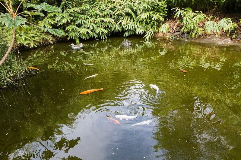 1 Large Koi Pond