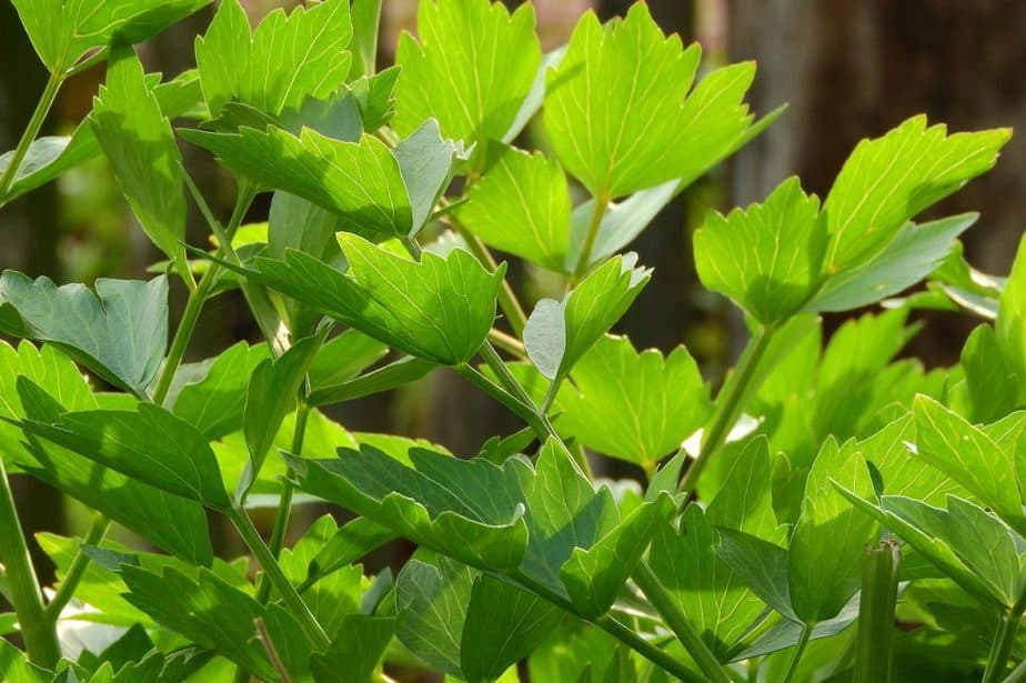 1 Lovage Leaves