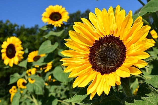 1 Sunflowers are easy to grow
