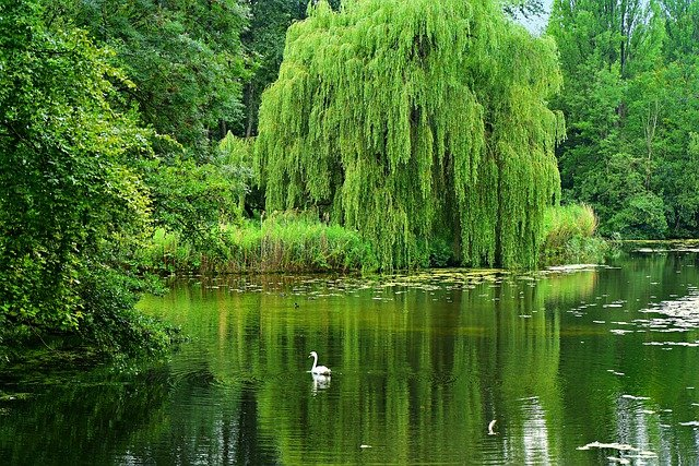 1 The graceful weeping willow