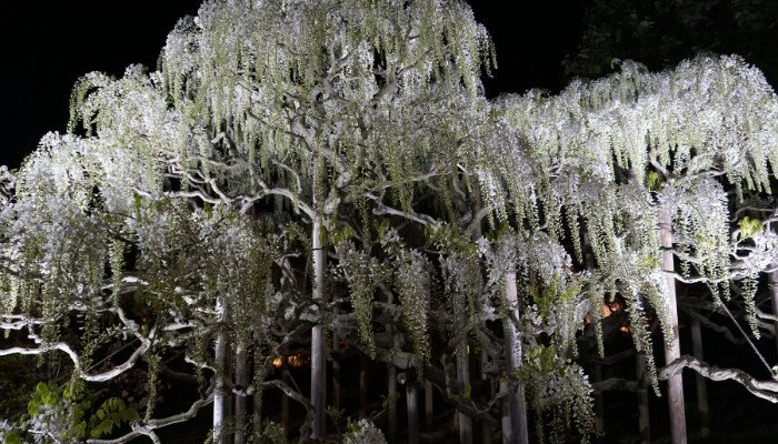 12. Nighttime view of a cluster of white Japanese Wisteria trees