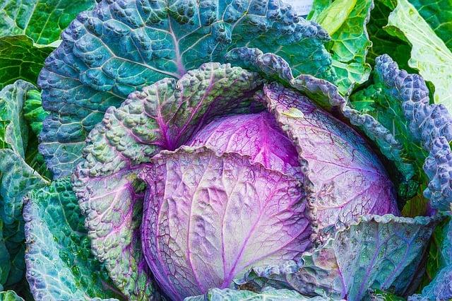 13 Cabbage