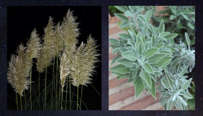 14. On left Pampas Grass. On right Lambs Ear