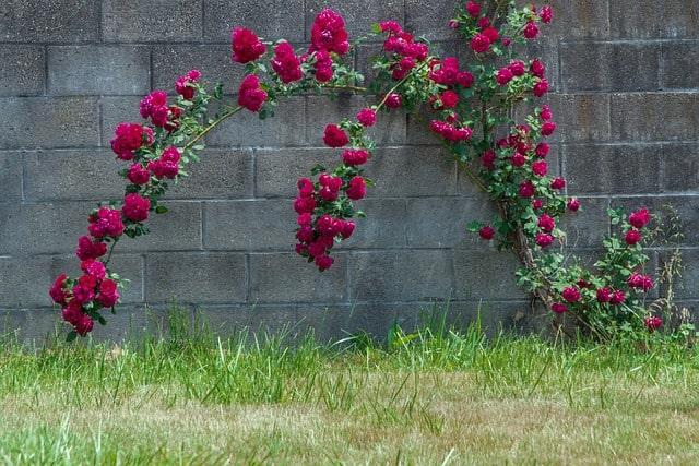 16 Climbing Rose