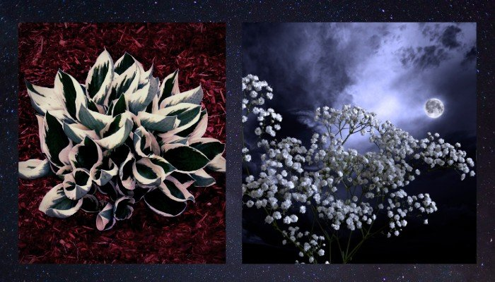 17. Both species shown are beautiful additions to a container moon garden