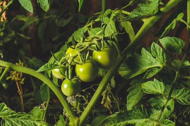 2 Only prune indeterminate varieties
