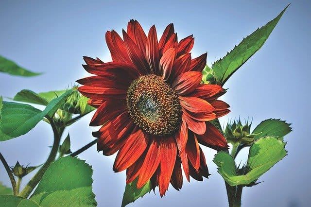 2 Sunflowers come in many colors