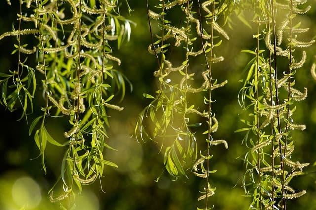 2 The plants distinctive catkins