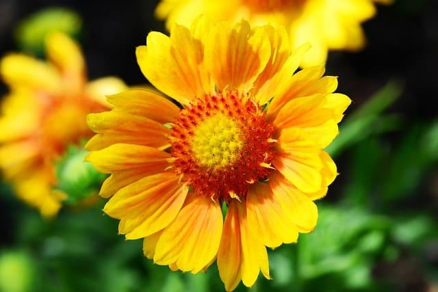 2 Yellow Gaillardia