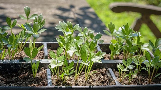 3 Lovage Seedlings