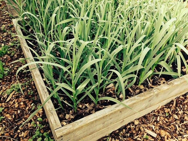 4 Garlic also grows in beds and pots