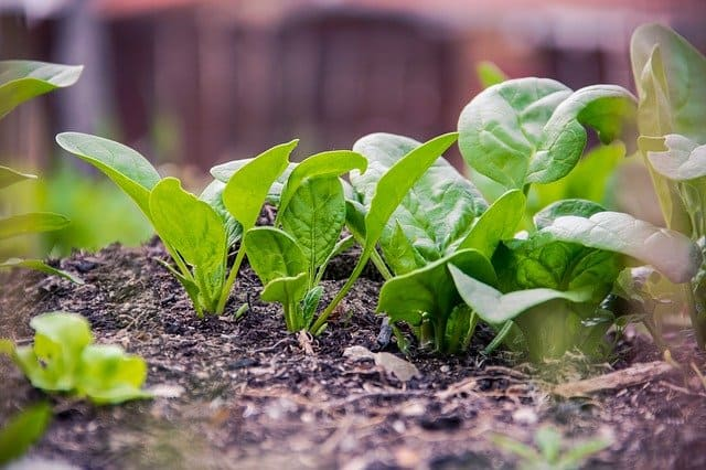 4 Mulch soil to prevent bolt