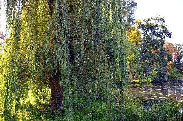 4 The weeping willow is low maintenance