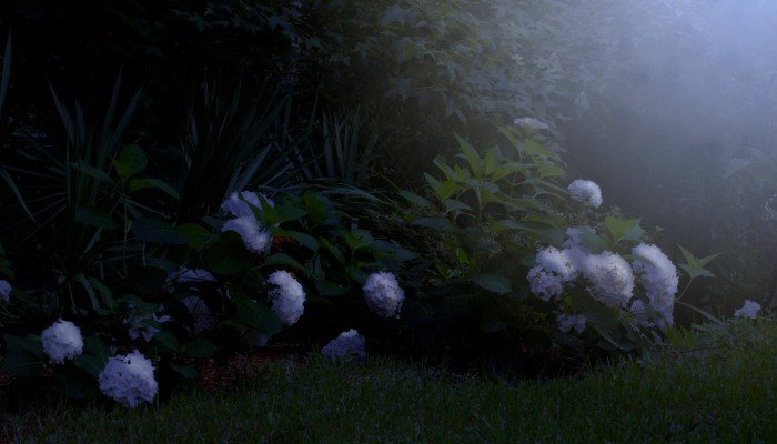 4. A large cluster of Hydrangea the white of which is accentuated