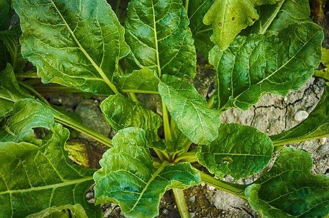 5 Harvest older outer leaves first