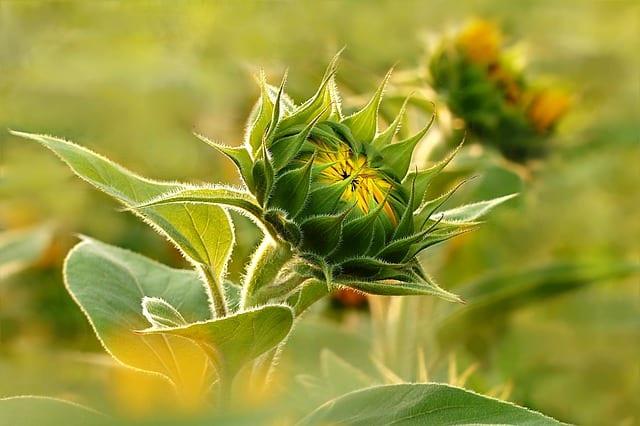 5 Sunflowers dont require fertilizer