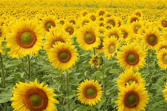 8 Sunflowers are instantly recognizable