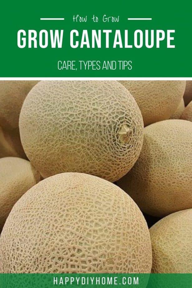 Growing Cantaloupe 2