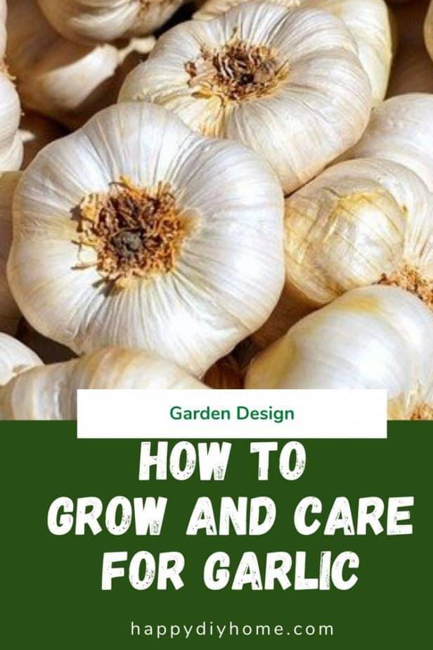 Growing Garlic 1