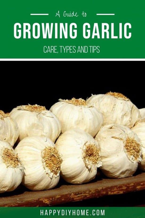 Growing Garlic 2