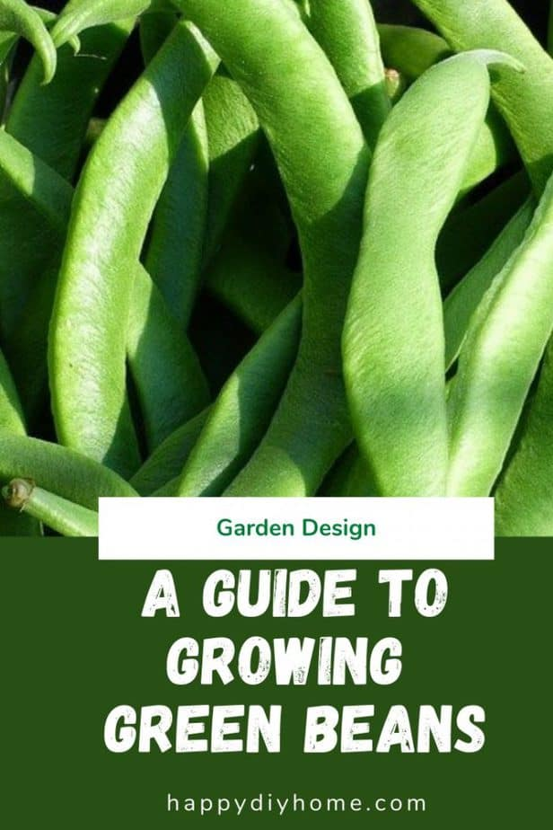 Growing Green Beans 1