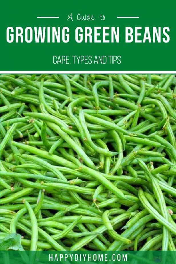 Growing Green Beans 2