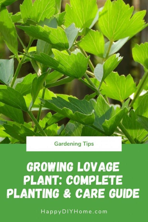 Growing Lovage Plant