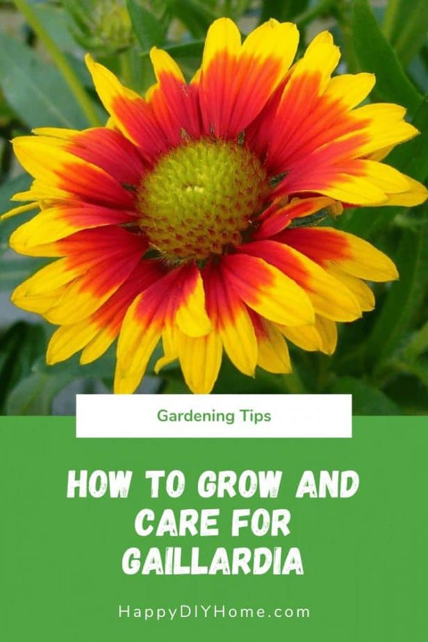 How to Grow and Care for Gaillardia