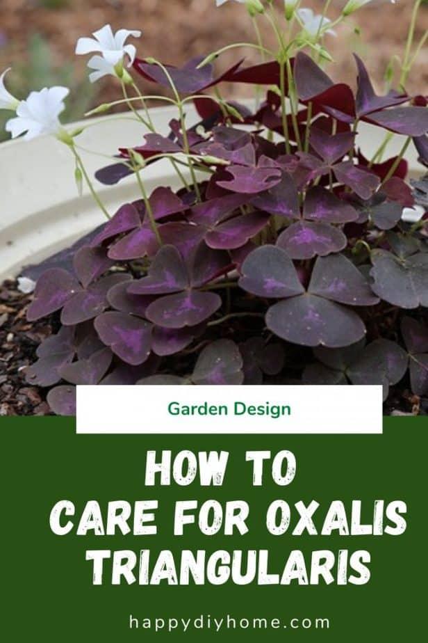 Oxalis Triangularis 1