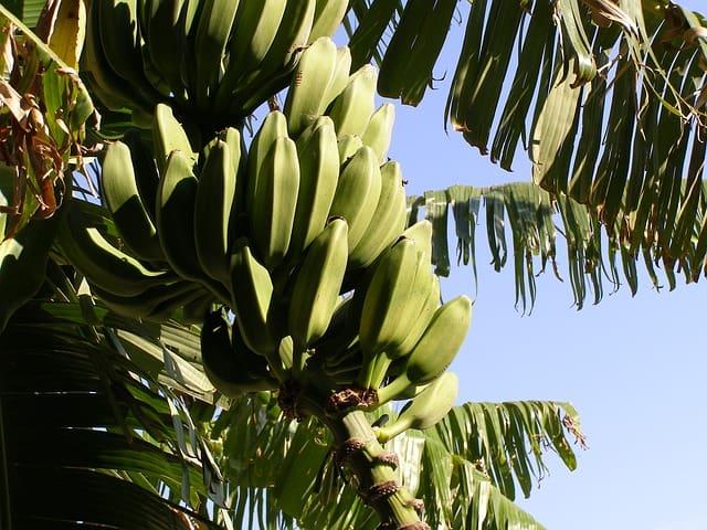 1 Banana tree is an attracitve specimen