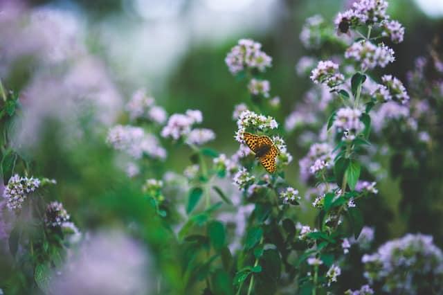 1 Oregano in Bloom