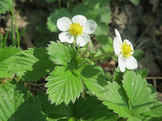 1 Small alpine strawberries