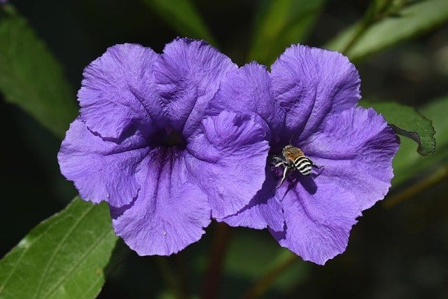 2 Mexican petunias differ from annual petunias