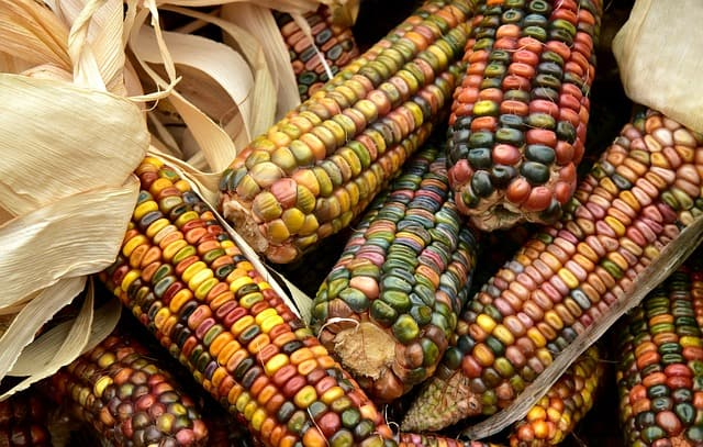 2 Ornamental Corn