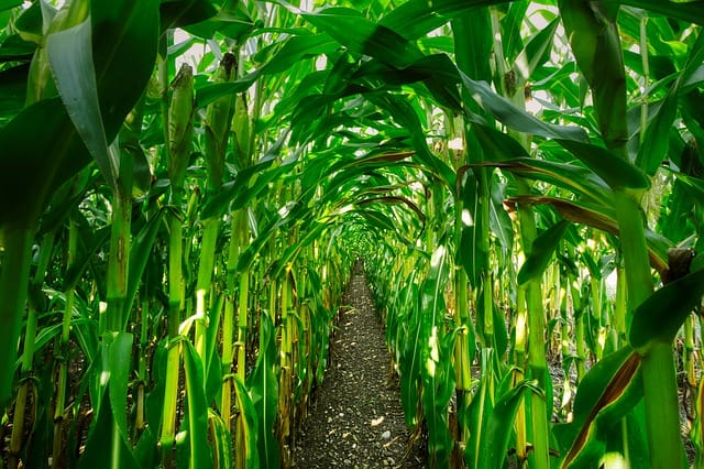5 Corn Rows