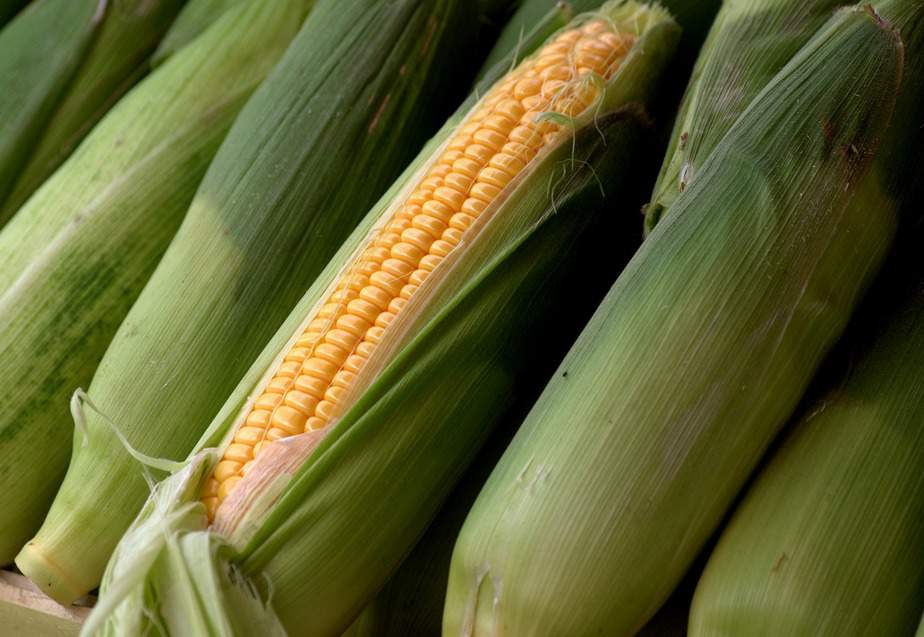 6 Ears of Sweet Corn