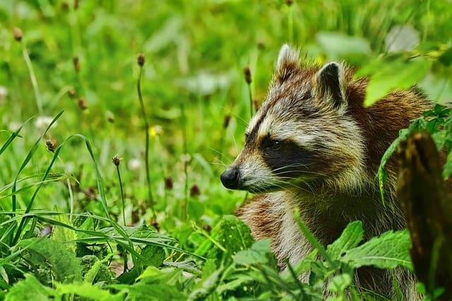 7 Raccoon
