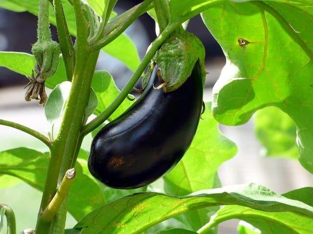 8 Growing eggplant is distinctive