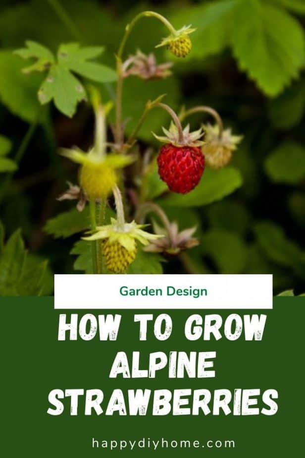 Alpine Strawberries 1