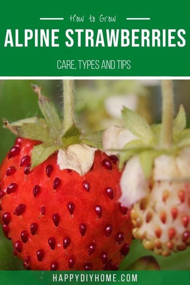 Alpine Strawberries 2