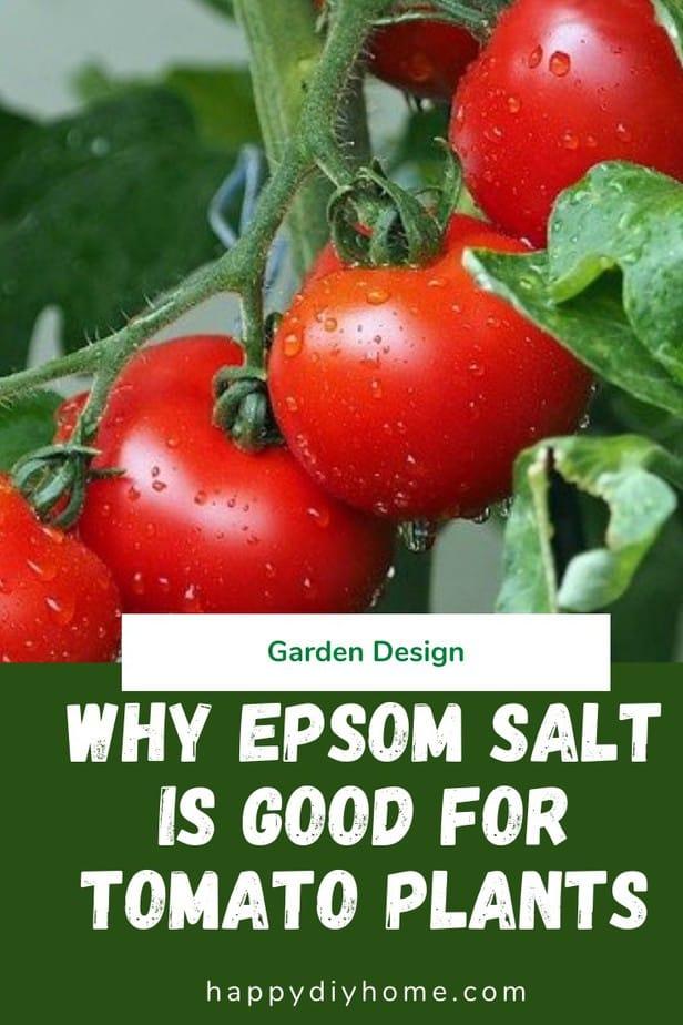 Epsom Salt for Tomato Plants 1