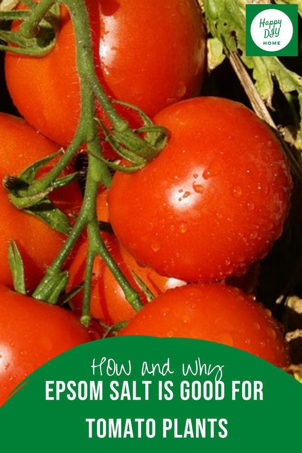 Epsom Salt for Tomato Plants 2