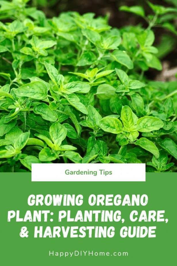 Growing Oregano Plant