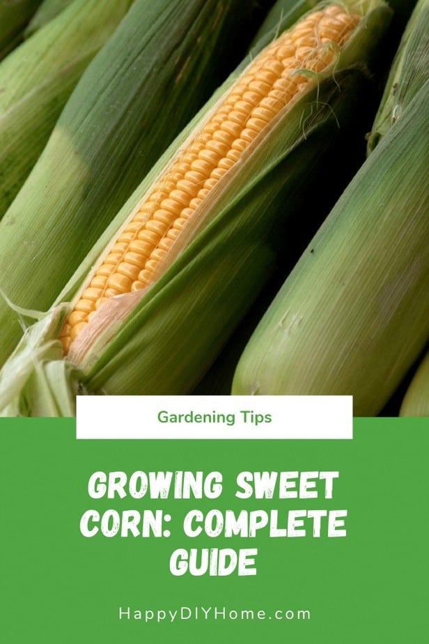 Growing Sweet Corn Guide