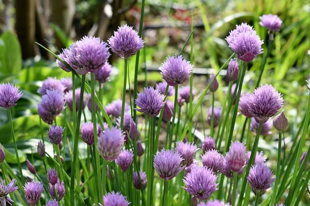 1 Chives are easy to grow