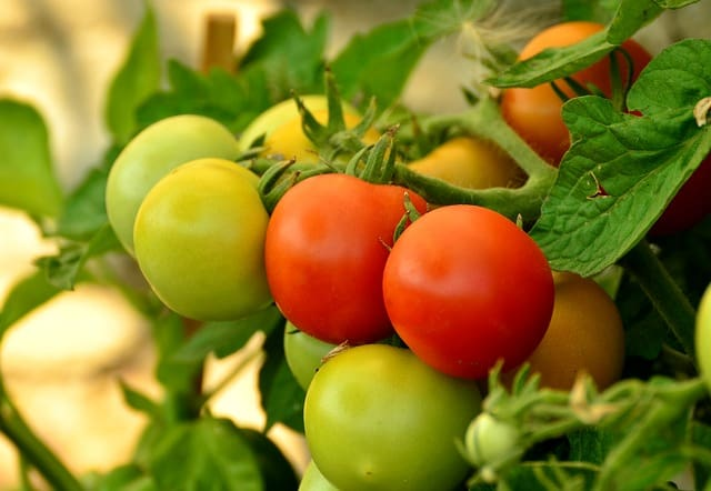 1 How to ripen green tomatoes